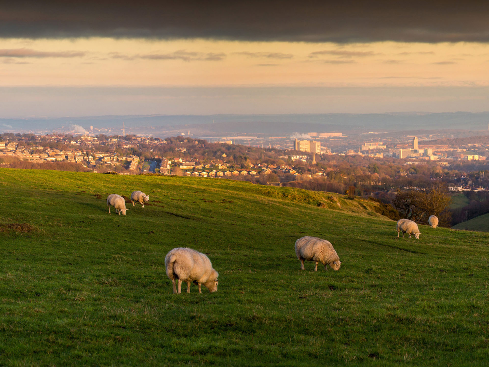 Sheep grazing in fields with Sheffield city in the backdrop